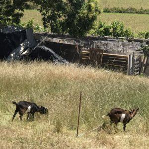 カミーノ「ポルトガル人の道」ヤギの放牧